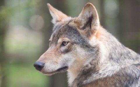 foto van wolf