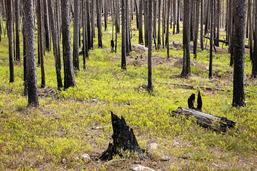 Jong groen na bosbranden in Muddus National Park in Noord-Zweden (foto: Tim Hofmeester)