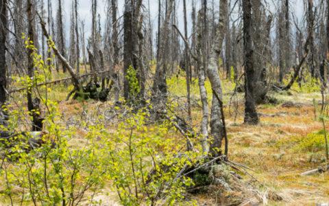 Bosbranden in Noord-Zweden