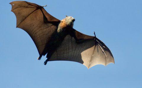 vliegende vleermuis