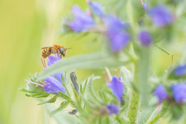 De verschillende bijensoorten hebben net zoals verschillende vogelsoorten allemaal specifieke voorkeuren en eisen, en sommige bijen zijn daarin zeer kieskeurig zoals deze gouden slakkenhuisbij (Osmia aurulenta). Zij bouwt alleen nestjes in slakkenhuizen en komt dus alleen voor in gebieden met het juiste type slakkenhuis.