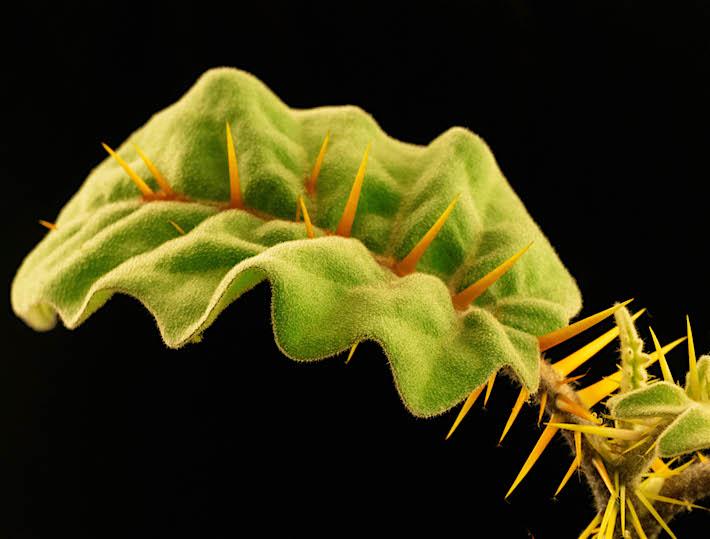 Verdediging van een plant met imposante stekels