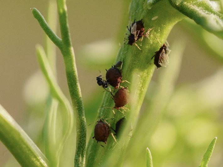 Sluipwesp en bladluis