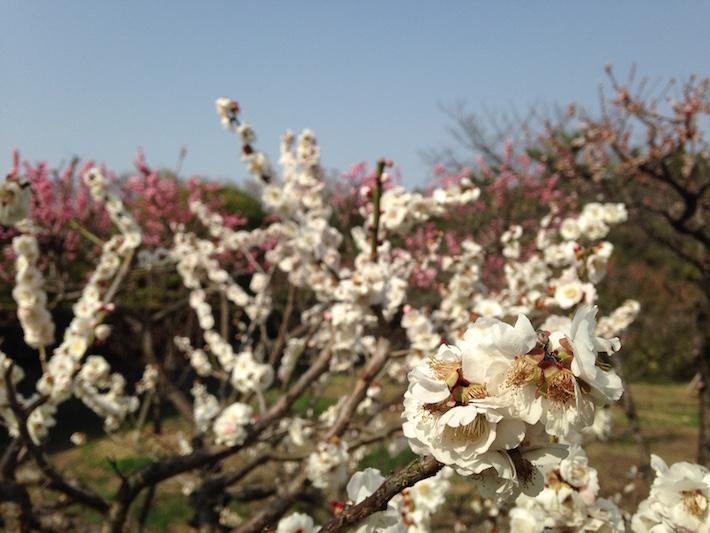 Witte pruimenbloesem