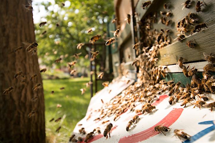 Honingbijenvolk