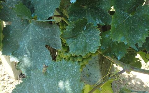 Blauwgekleurd wijnblad