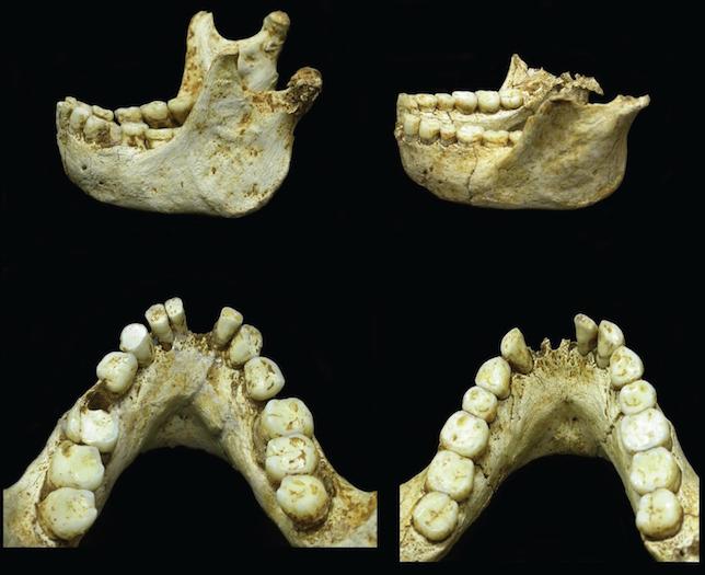 2 onderkaken van Homo floresiensis