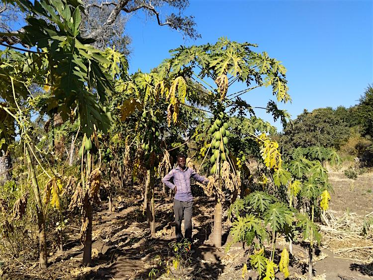 Boer Kupang Moyo papaya