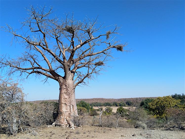 Baobab langs de Shashe-zandrivier