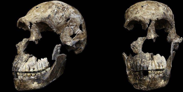 Zij- en vooraanzicht schedel Homo naledi